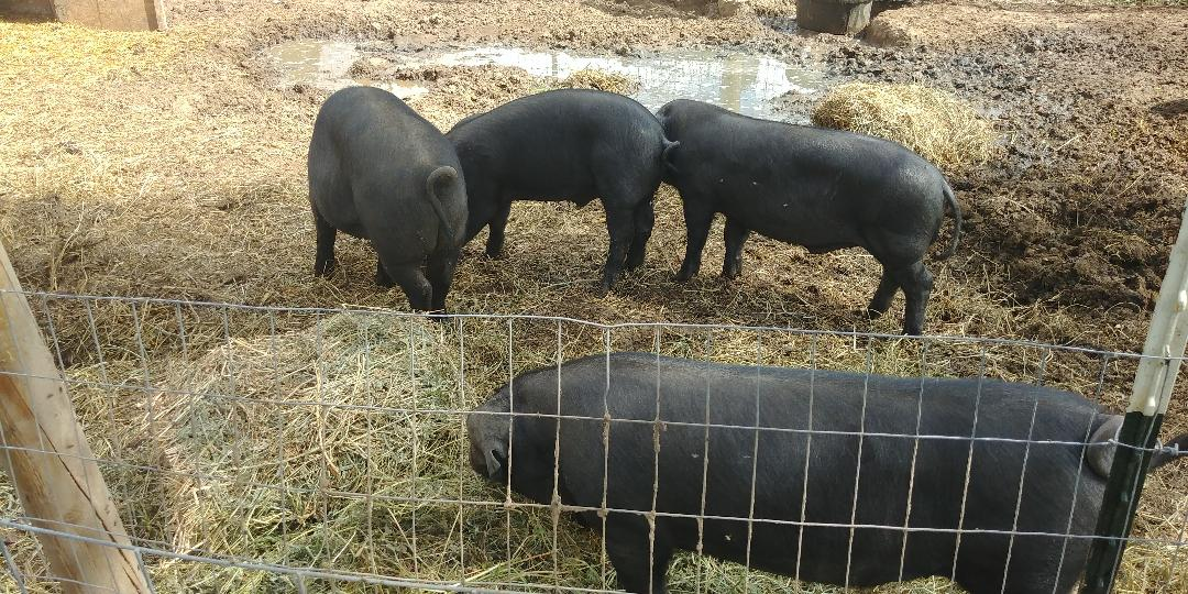 Large Black Hogs